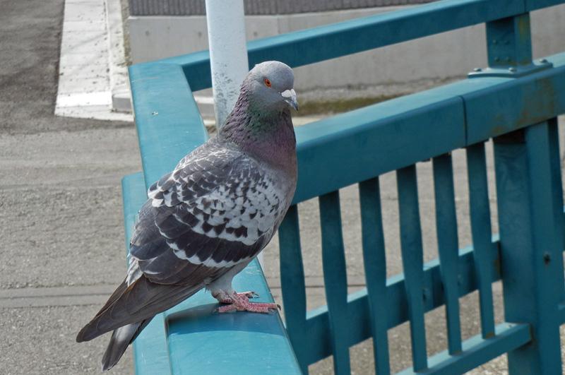 ドバトドバト (土鳩、Rock Dove / Rock Pigeon)... ドバト